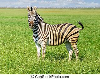 grevy's zebra, alatt, sztyepp, alatt, a, eredet