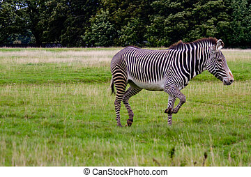 Grevys zebra on grassland