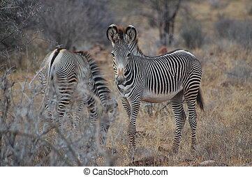 grevy\\\'s, zebra