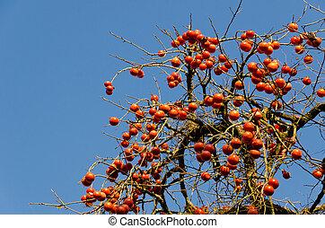 grew, fruta del árbol, terreno, tiene, caqui