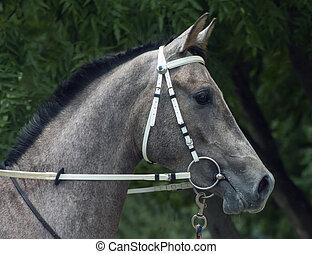 Grey arabian horse stallion portrait.