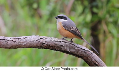 Grey-backed Shrike Lanius tephronotus Beautiful Birds of...
