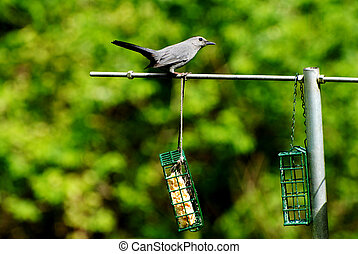 Grey Bird Feeding