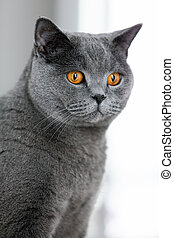 Grey british shorthair cat staring in the space.