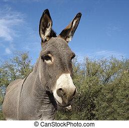 Grey Burro (Donkey) - Small Grey Donky, often called Burro...