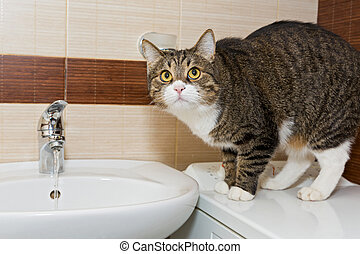 Grey cat intereset water from the faucet in the sink