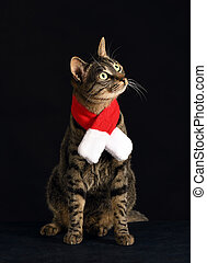 grey cat in a red scarf