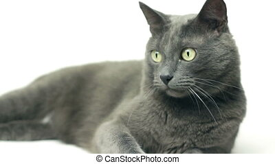 grey cat over white background