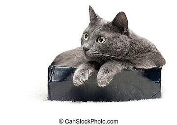 grey cat sitting in the box over white background