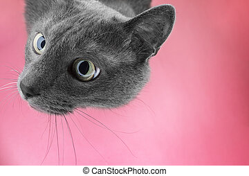 grey cat sitting on the pink background looking at camera