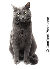 grey cat sitting over white background isolated
