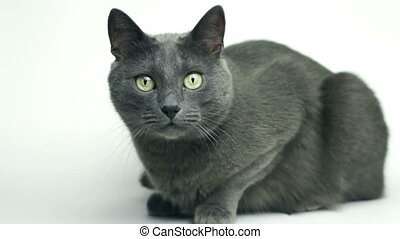 grey cat sitting over white background