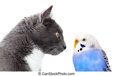 grey cat with blue budgerigar. Isolated on white background