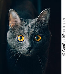 Grey cat with yellow eyes.