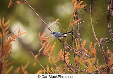 Grey catbird Dumetella carolinensis perches on a tree in...