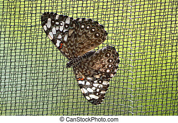 Grey Crapper Butterfly