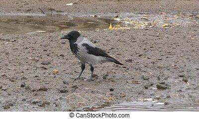 Grey Crow (LAT. Corvus cornix) or Hoodie - Grey Crow eats at...