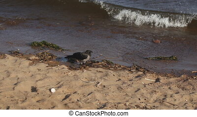 Grey crow walking on a beach