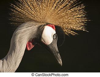Grey Crowned Crane quater - Grey Crowned Crane head...