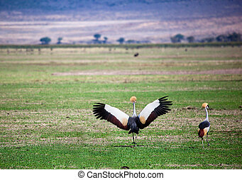 Grey Crowned Crane. The national bird of Uganda, it appears...