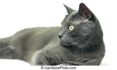 grey domestic cat lying on white background