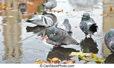 Grey doves near fountain, townhall reflection and autumn...