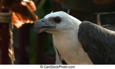 Grey Falcon Drops Piece Of Food - Handheld, close up shot of...