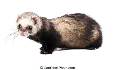 Grey ferret in full growth, isolated on white background
