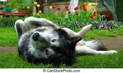 Grey fluffy husky dog basking on the green grass on a...