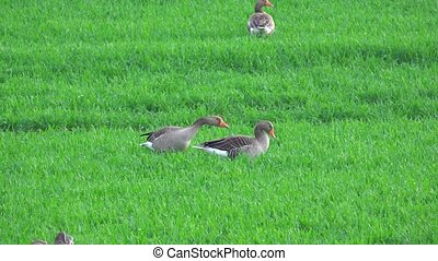 Grey geese chattering on a green meadow