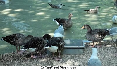 Grey Geese - Video clip of geese eating near pond with...