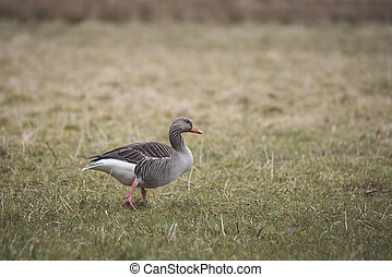 Grey goose walking on grass