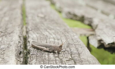 Grey grasshopper on the grey tree. - Grey grasshopper on the...