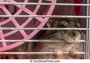 Grey hamster sits in his cage