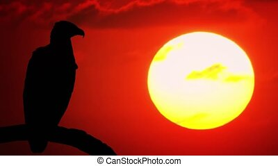 Solitary grey headed fish eagle, perched on a tree branch and silhouetted against a dramatic, red, sunset sky. 4k footage