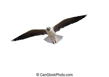 Grey-headed gull, Larus cirrocephalus, single bird in...