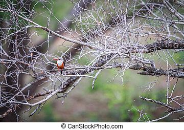 Grey-headed kingfisher sitting on a branch.