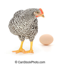 grey hen with egg isolated on white, studio shot