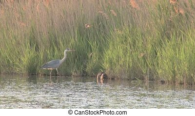 Grey Heron and Coypu foraging together in water