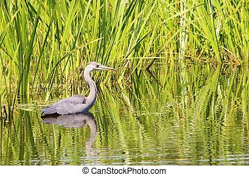 A colourful image of a Grey Heron in a nature reserve.