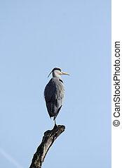 Grey Heron (Ardea cinerea) before blue sky