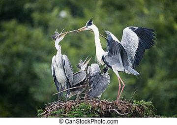 grey heron, ardea cinerea - grey heron family in the nest,...
