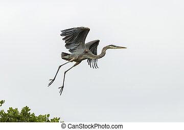 Grey Heron (Ardea cinerea) in flight, Cape Coral, Florida