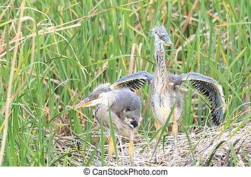 Grey Heron (Ardea cinerea) nesting in Japan