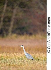 Grey Heron (Ardea cinerea) on a meadow in the nature...