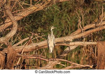 Grey Heron (Ardea cinerea) on branch tree