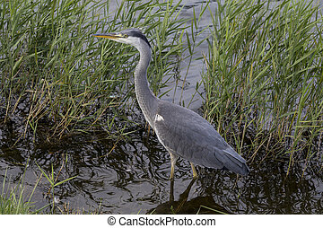 Grey Heron - Ardea cinerea - a long-legged predatory wading...