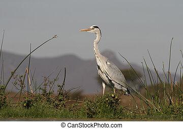 Grey heron, Ardea cinerea, single bird by water, South...