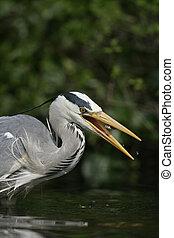 Grey heron, Ardea cinerea, single bird head shot, Herts...