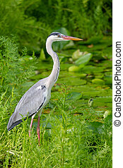 Grey Heron (Ardea cinerea) sitting at a small pond on...